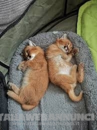gattini disponibili savana e serval e caracal