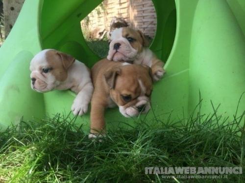 Disponibile per l'adozione cucciolI di bulldog inglese.