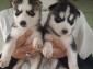Disponibili cuccioli di husky siberiano