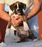 meraviglioso cucciolo di boxer maschio tigrato figlio di pluricampiolni
