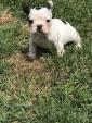 Bulldog francese Bouledogue con Pedigree E.N.C.I - FCI