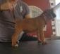 vendesi cuccioli di boxer alta genealogia
