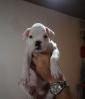 Vendo cucciola di boxer bianca alta genealogia