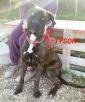 TYSON cane Corso, giovane e buono
