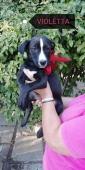 Violetta Labrador di 3 mesi e mezzo VIOLETTA