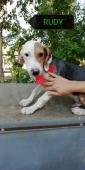 RUDY incrocio pointer beagle 6 mesi