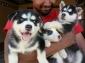 Cuccioli di Pomsky e Siberian Husky