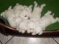 Cuccioli di schnauzer nano bianco