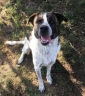 Venite a conoscerlo LIAM cagnolone dolcissimo taglia xl, castrato, 1 anno e qualche mese