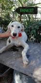 Ernest cucciolo simil Labrador 8 mesi colore bianco, vaccinato