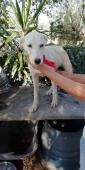 Chicca, colore bianco, simil Labrador 8mesi, pelo corto
