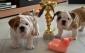 Cuccioli di Bulldog Inglese disponibili.