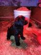 cuccioli di Riesenschnauzer nero