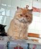 Gattini persiani ipertipici con pedigree vari colori