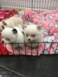 Cuccioli Volpino mini pomeranian 4 regalo di San Valentino disponibile